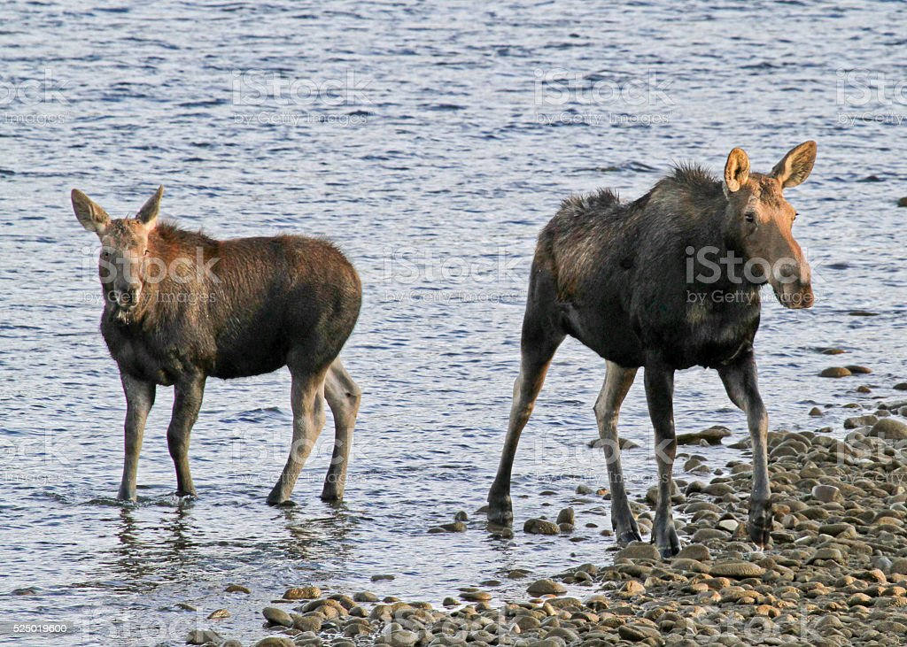 Moose cow and calf in Gros Ventre River stock photo