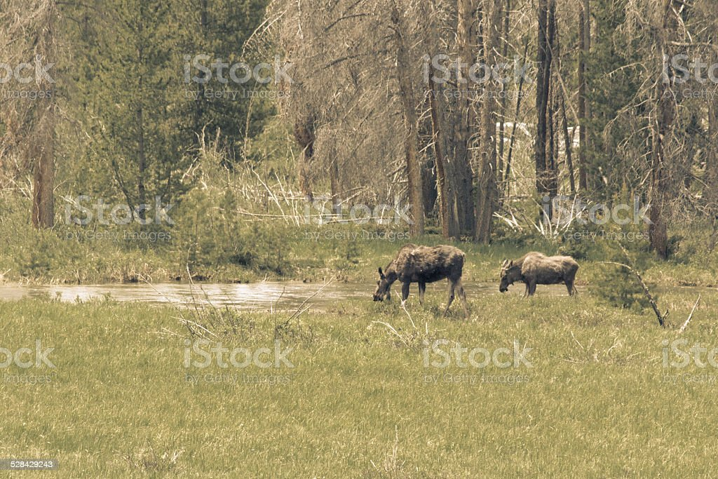 Moose Cow and Yearling Drinking from River royalty-free stock photo