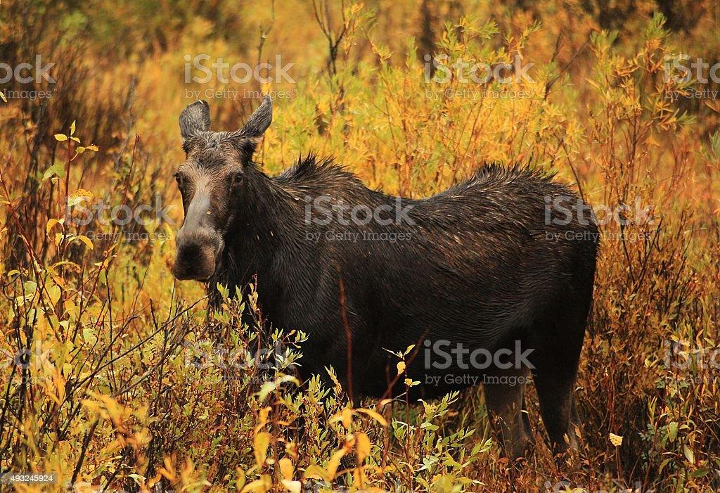Moose Cow in Montana stock photo