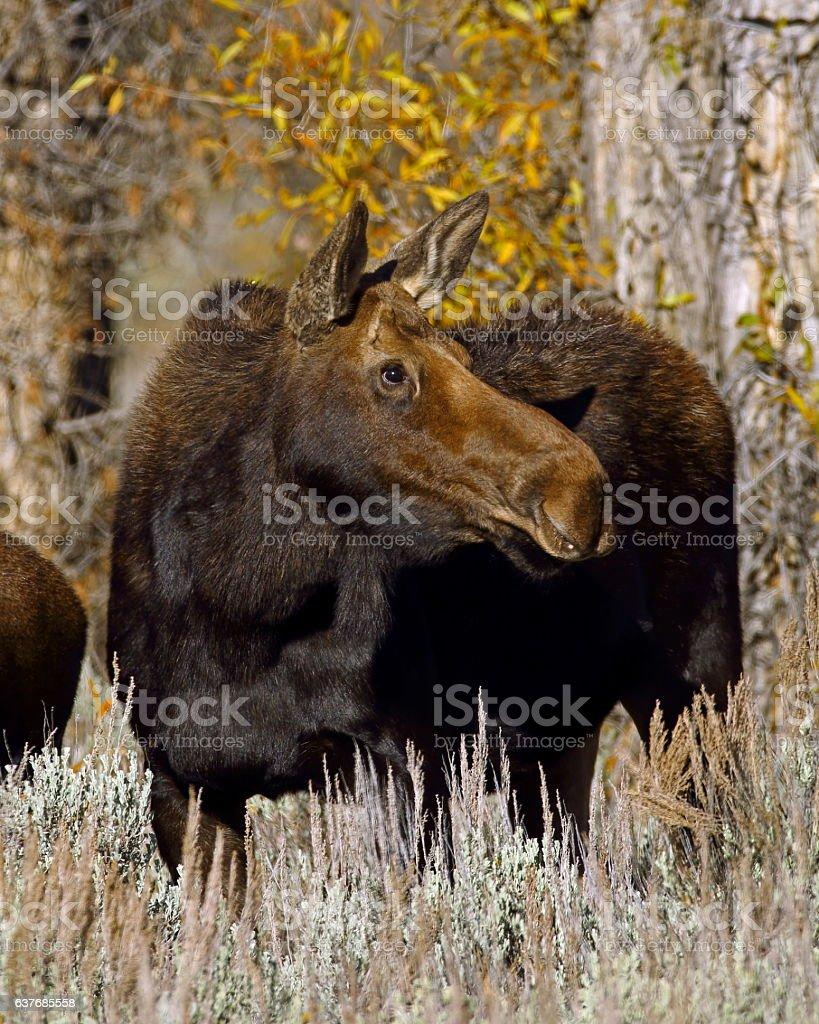Moose Cow stock photo
