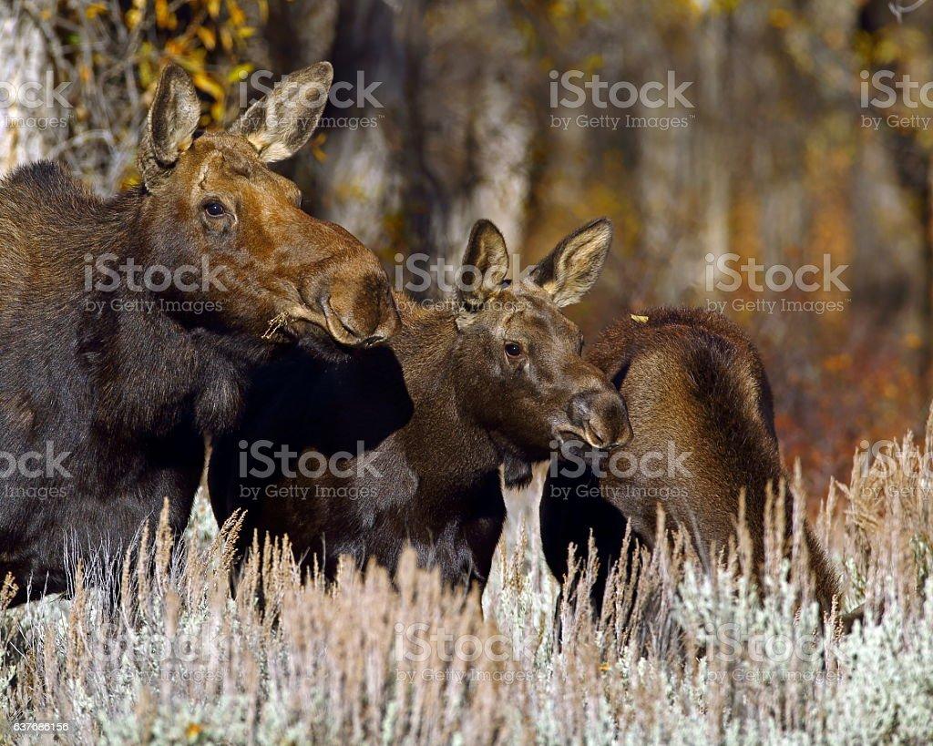 Moose Cow with Calves stock photo