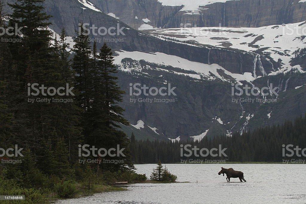 Moose crossing lake royalty-free stock photo