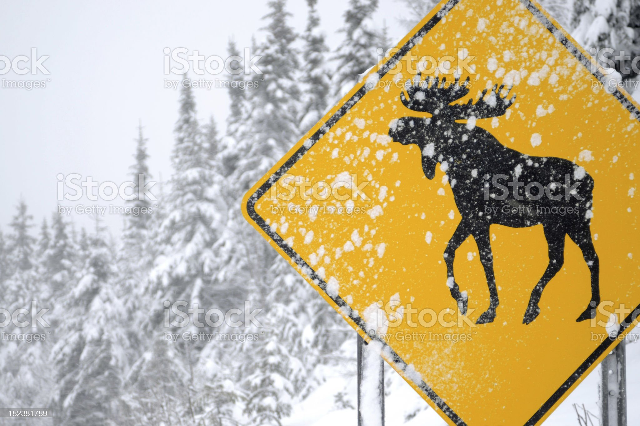 Moose Crossing royalty-free stock photo
