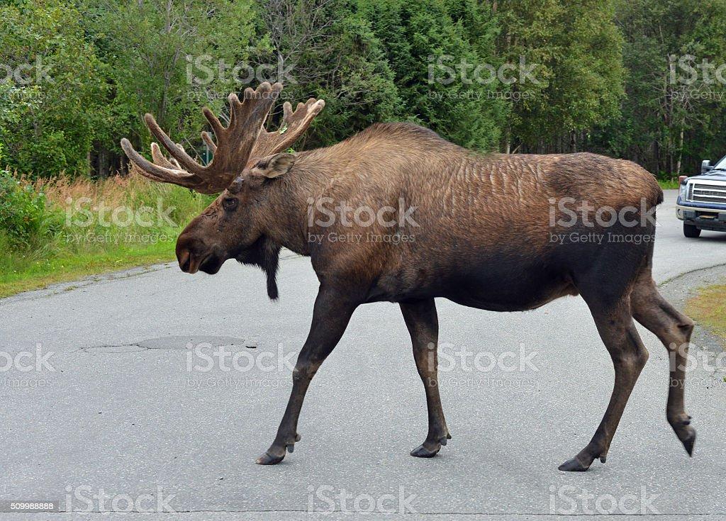 Moose crossing road, Alaska stock photo