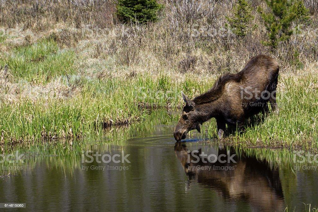 Moose Drinking Water stock photo