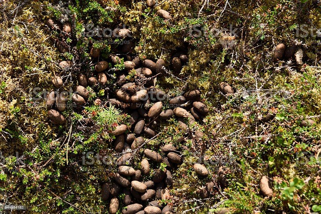 Moose excrements stock photo