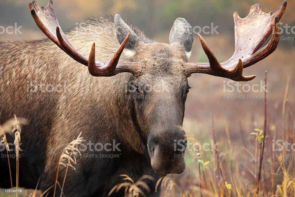 Moose Face- Male Bull stock photo