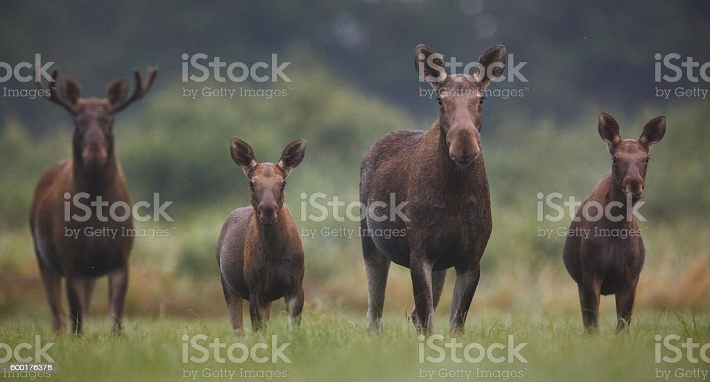 Moose family picture stock photo