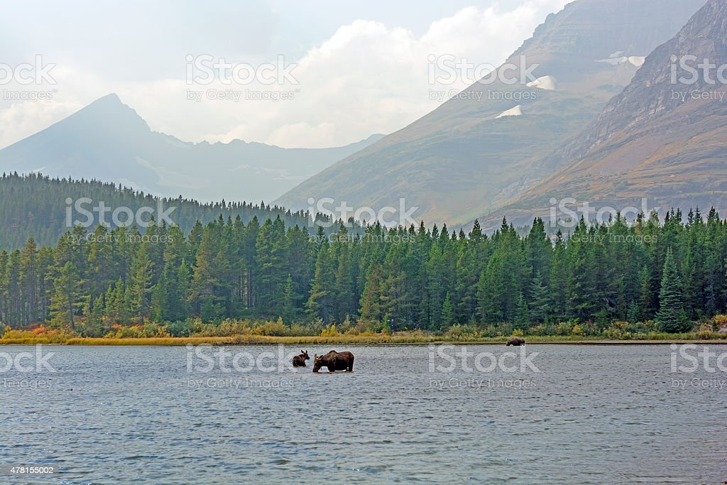 Moose Feeding in a Remote Alpine Lake in the Fall stock photo