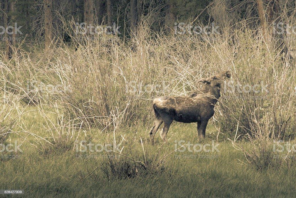 Moose Grazing royalty-free stock photo