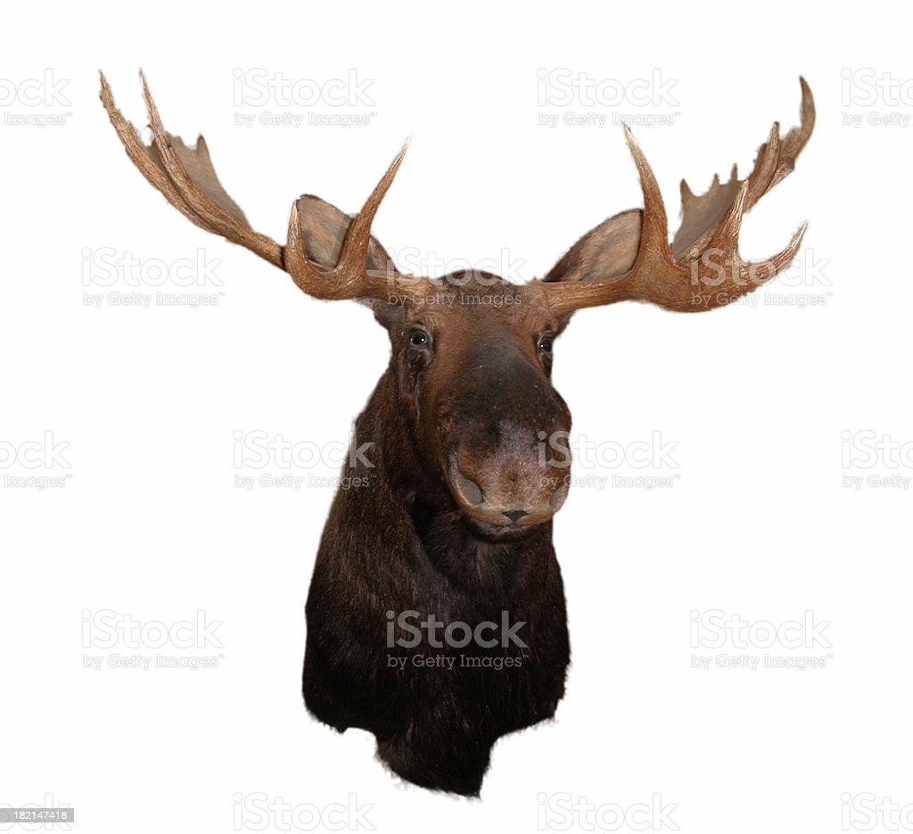 moose head stock photo