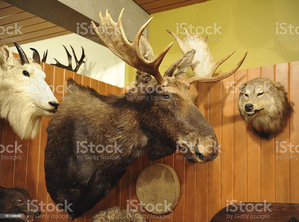 Moose head royalty-free stock photo