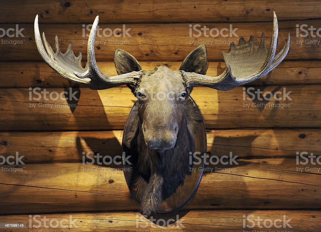 Moose Head stock photo