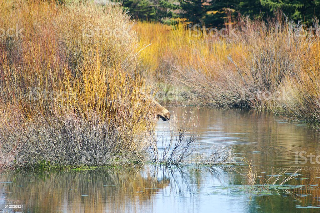 Moose hides behind willows in lake stock photo