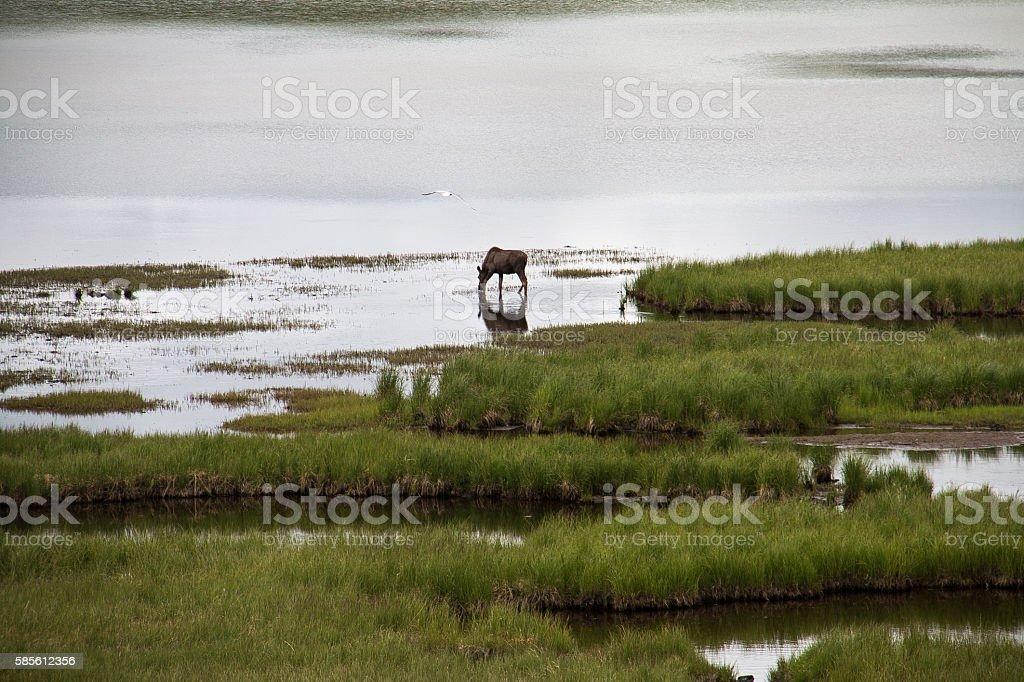 Moose in a lake stock photo