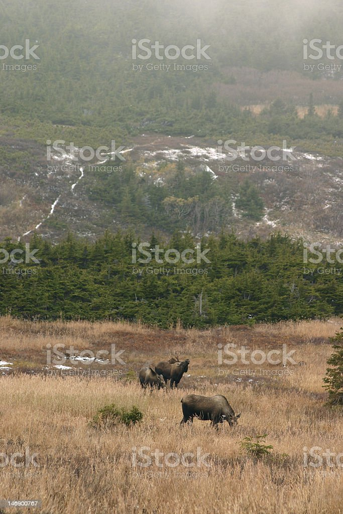 moose in alaska stock photo