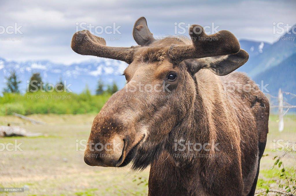 Moose in Alaska (USA) stock photo