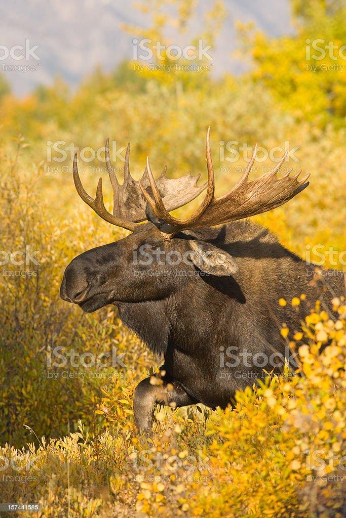 Moose in Autumn Foliage stock photo