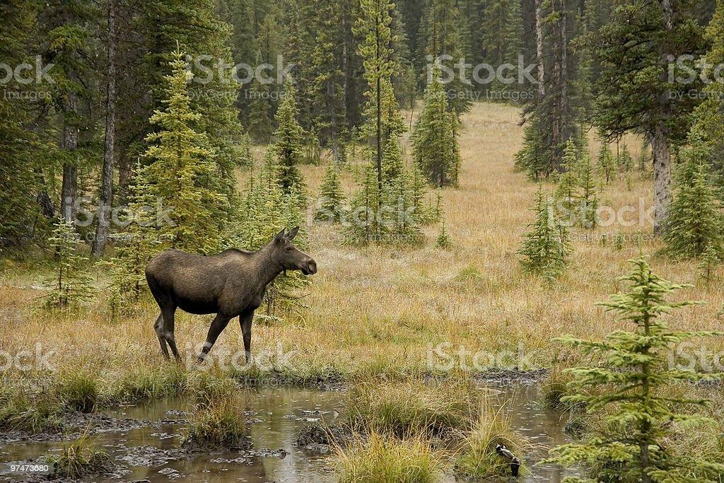Moose in Kananaskis stock photo