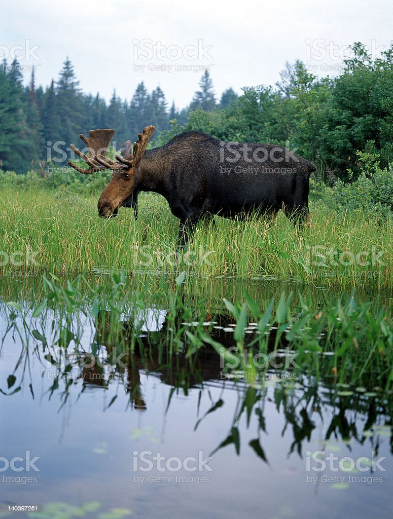 Moose in Lake Ontario, Canada royalty-free stock photo