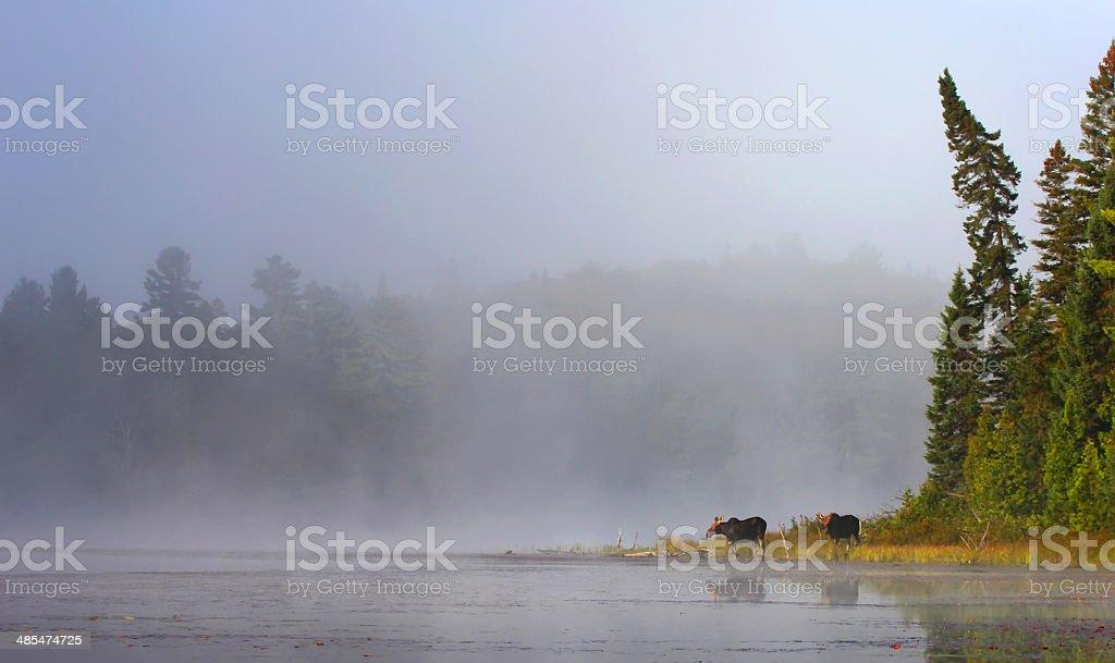 Moose in mist at lake's edge stock photo