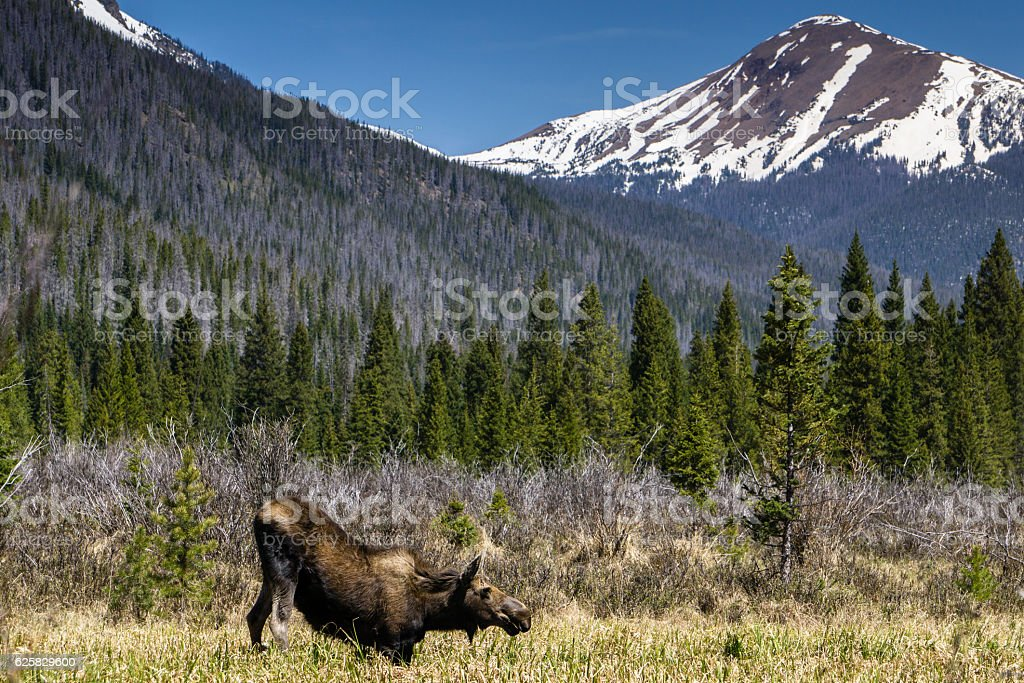 Moose in Rocky Mountain National Park stock photo