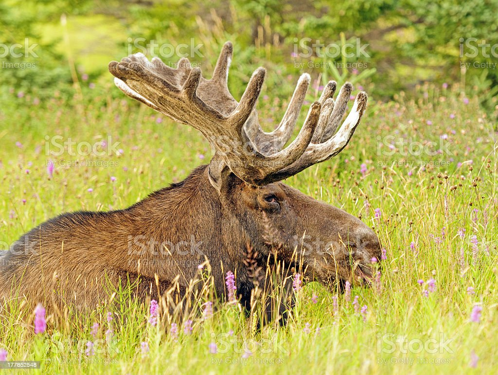 Moose in the Meadow royalty-free stock photo