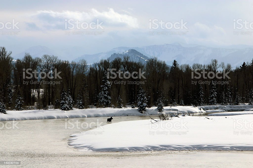 Moose in the Snake River  Wyoming at Winter royalty-free stock photo