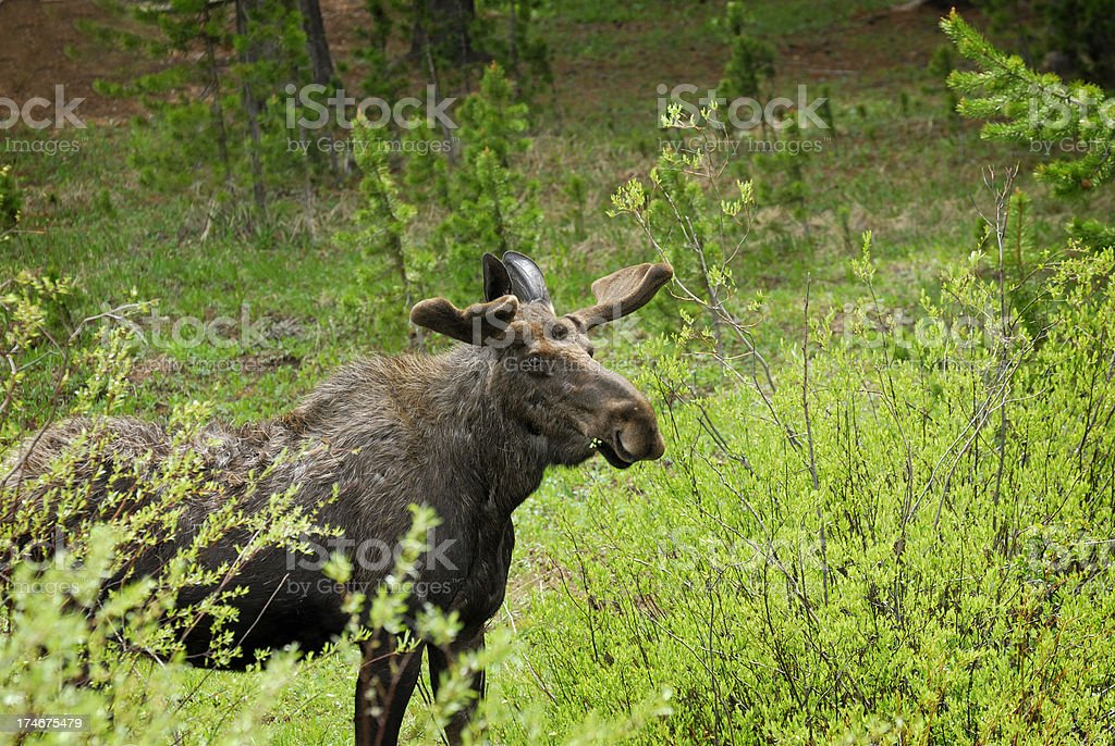 Moose in the Willows stock photo
