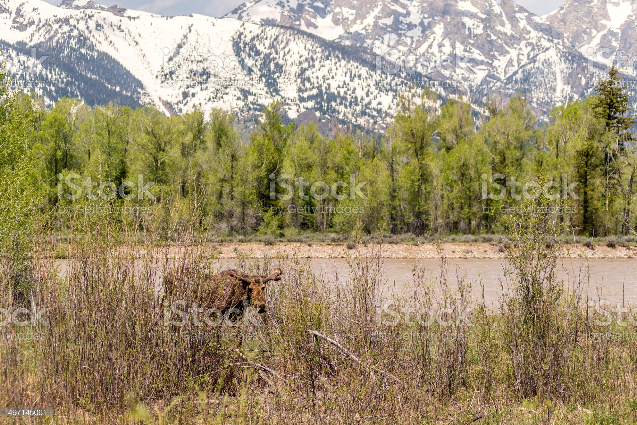 Moose in the Willows royalty-free stock photo