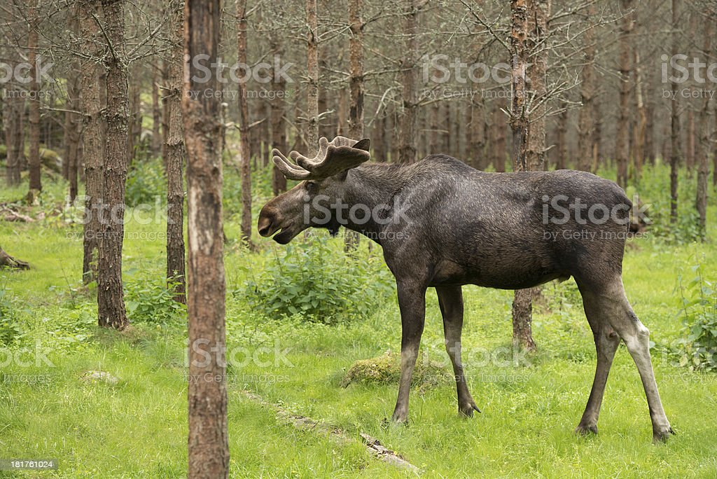 Moose in the woods royalty-free stock photo