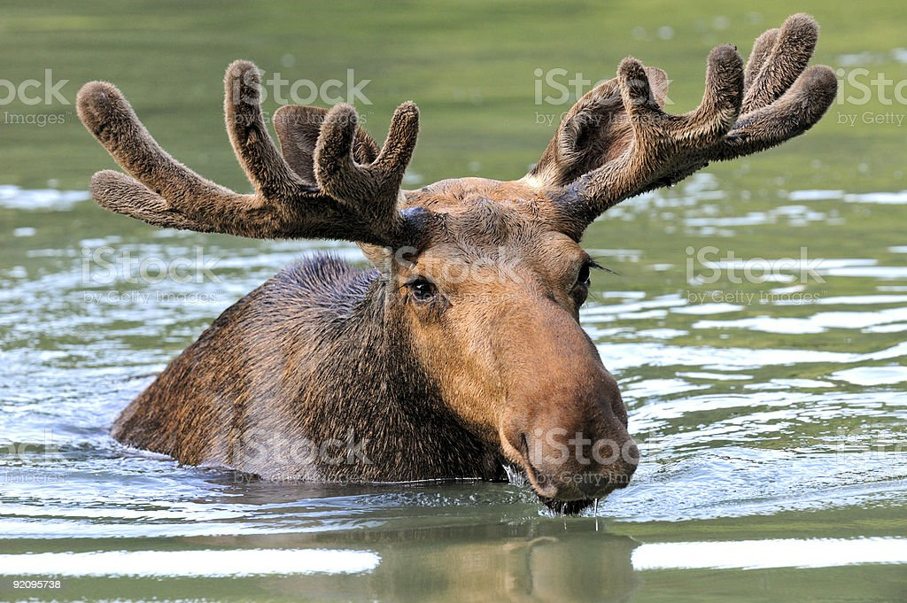 Moose in Water stock photo