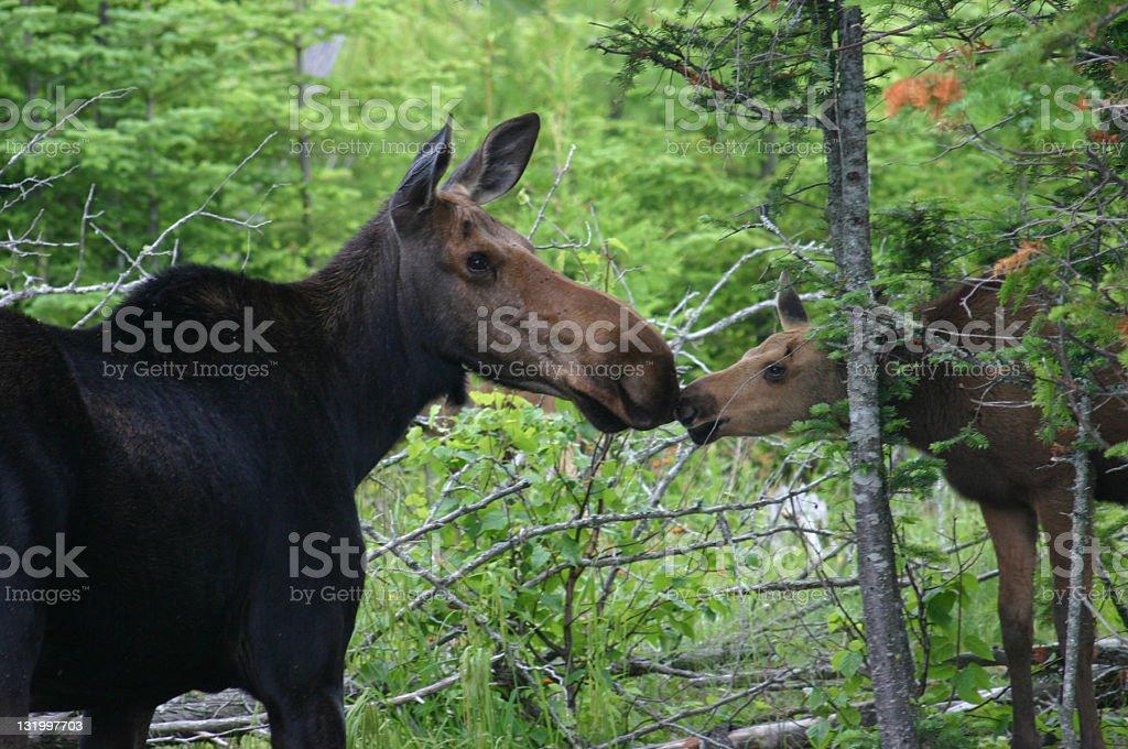 Moose kiss stock photo