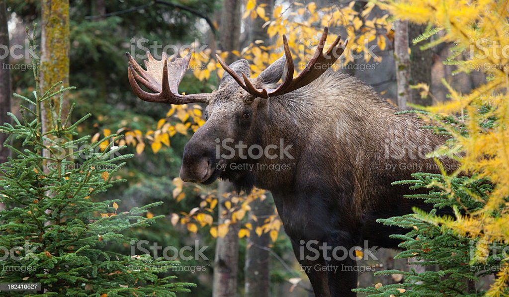 Moose - Male Bull from Alaska- XL stock photo