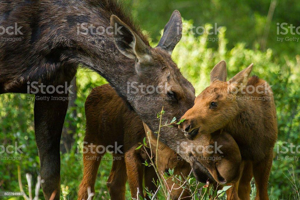moose mother and twin calves caress stock photo