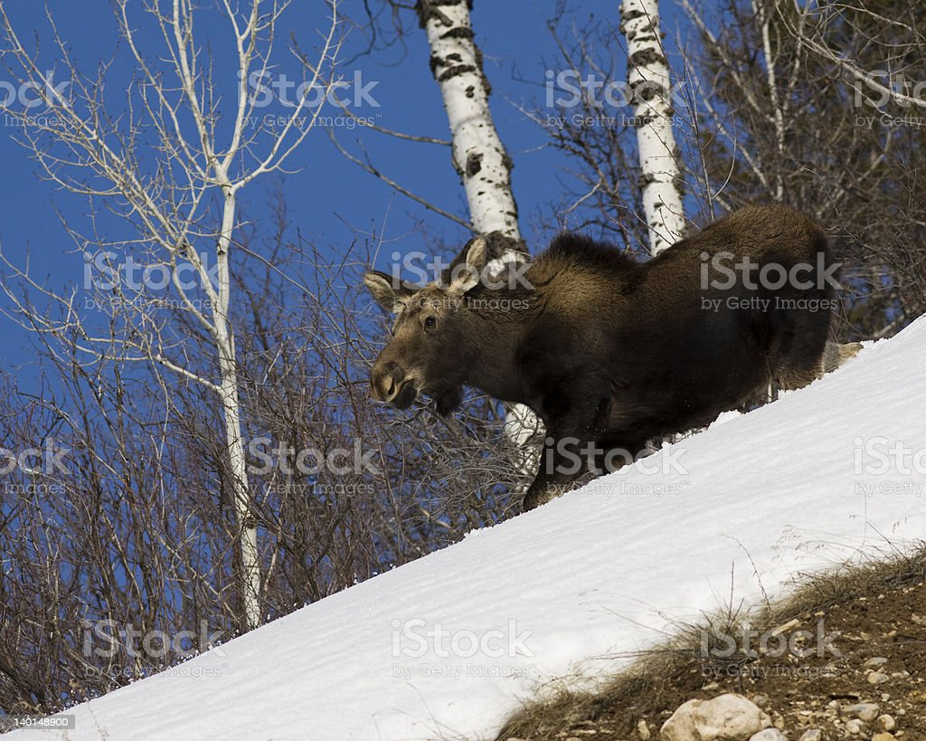 Moose moving downhill royalty-free stock photo