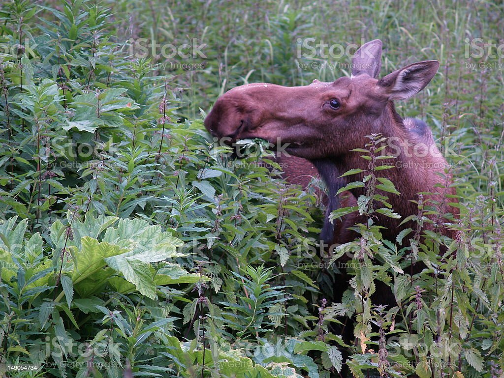 Moose munching stinging nettles in Homer, Alaska stock photo
