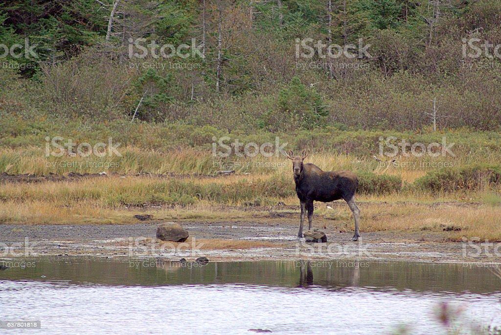 Moose On a Beach stock photo