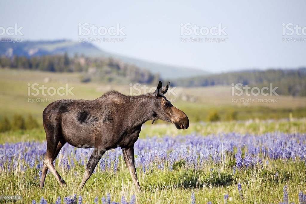 moose on meadow royalty-free stock photo