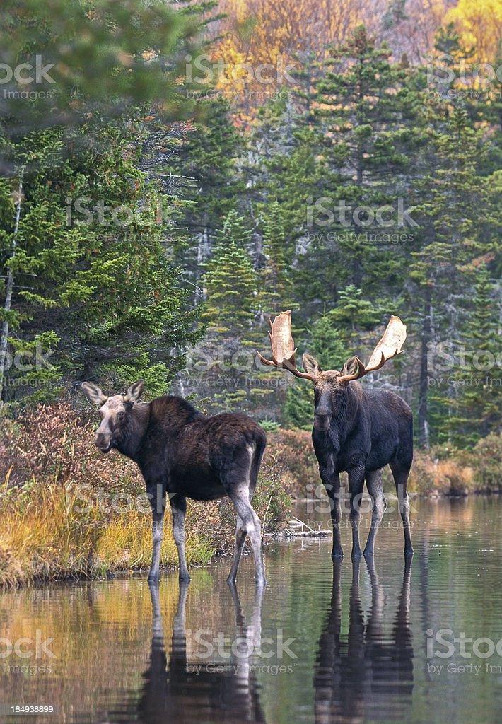 Moose Pair in Pond stock photo