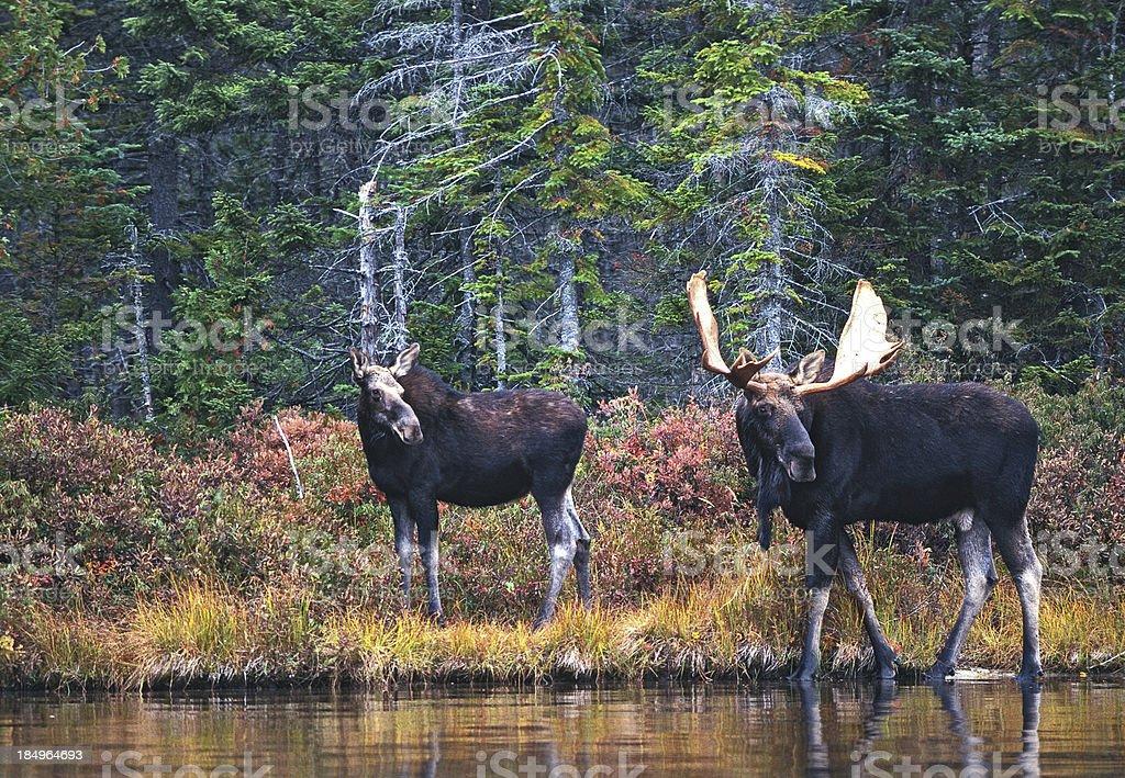 Moose Pair stock photo