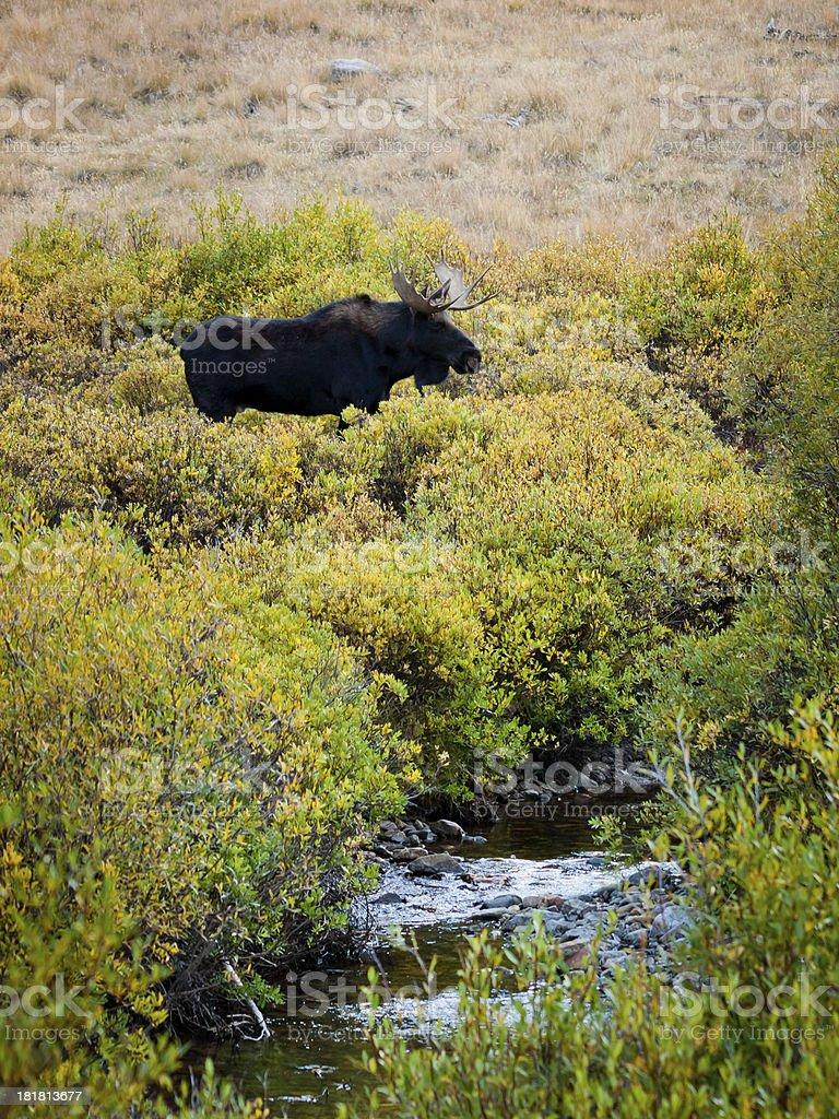 Moose royalty-free stock photo