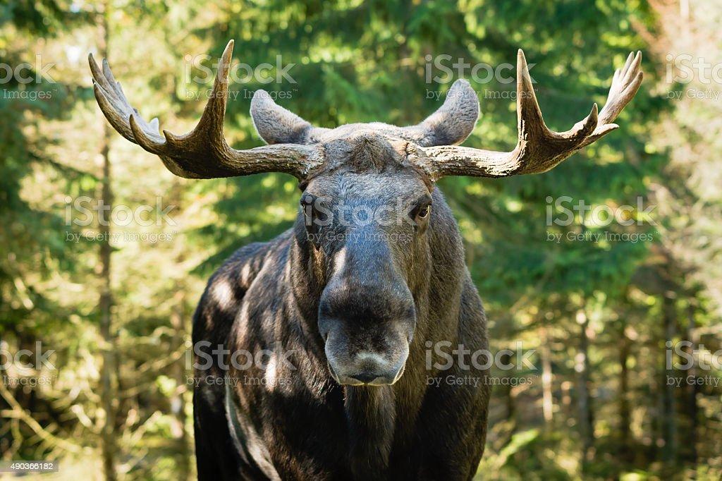 Moose (Alces alces) stock photo