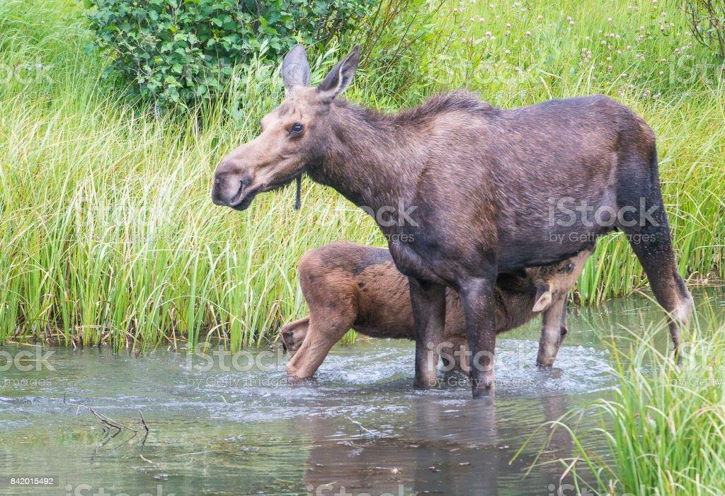 Moose stock photo