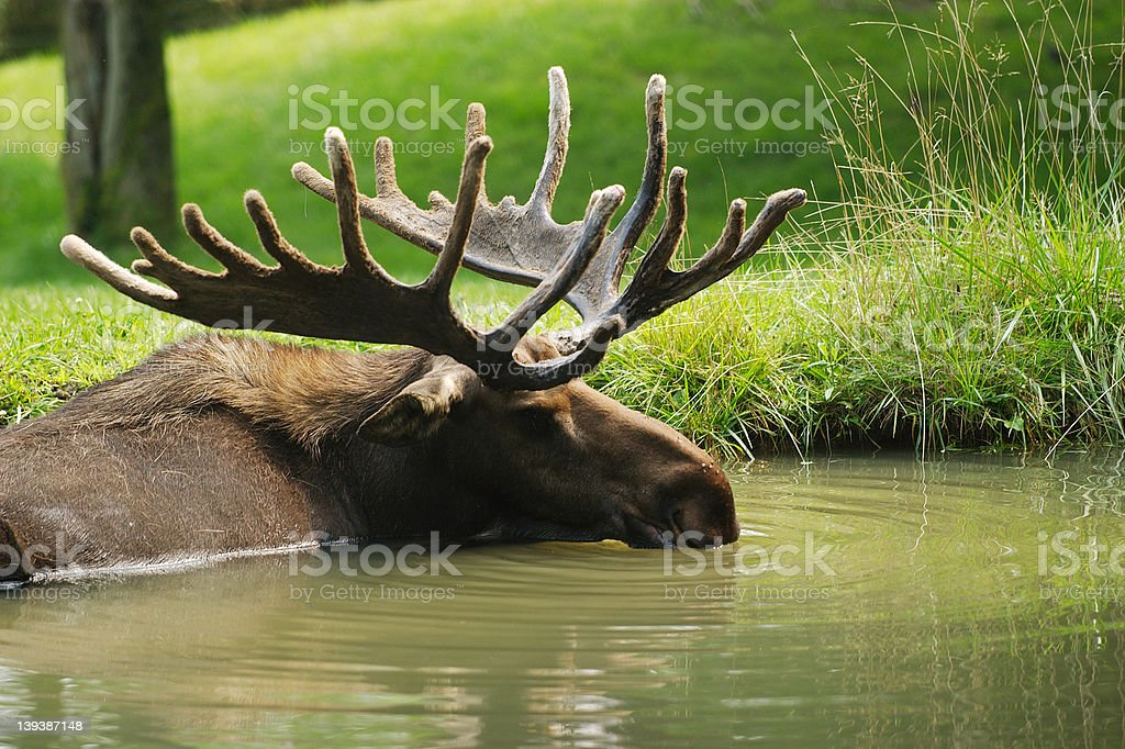 Moose resting in pond royalty-free stock photo