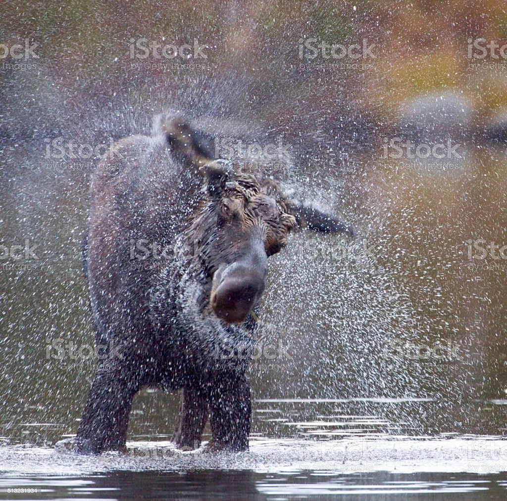 Moose Shake stock photo