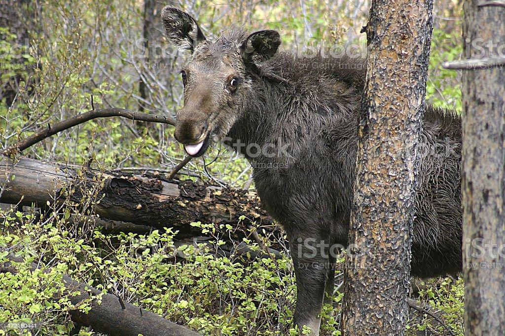Moose smile royalty-free stock photo