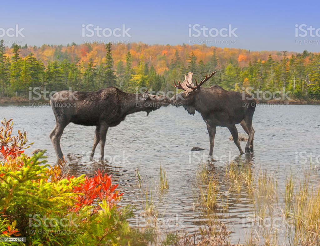 Moose Smooch stock photo