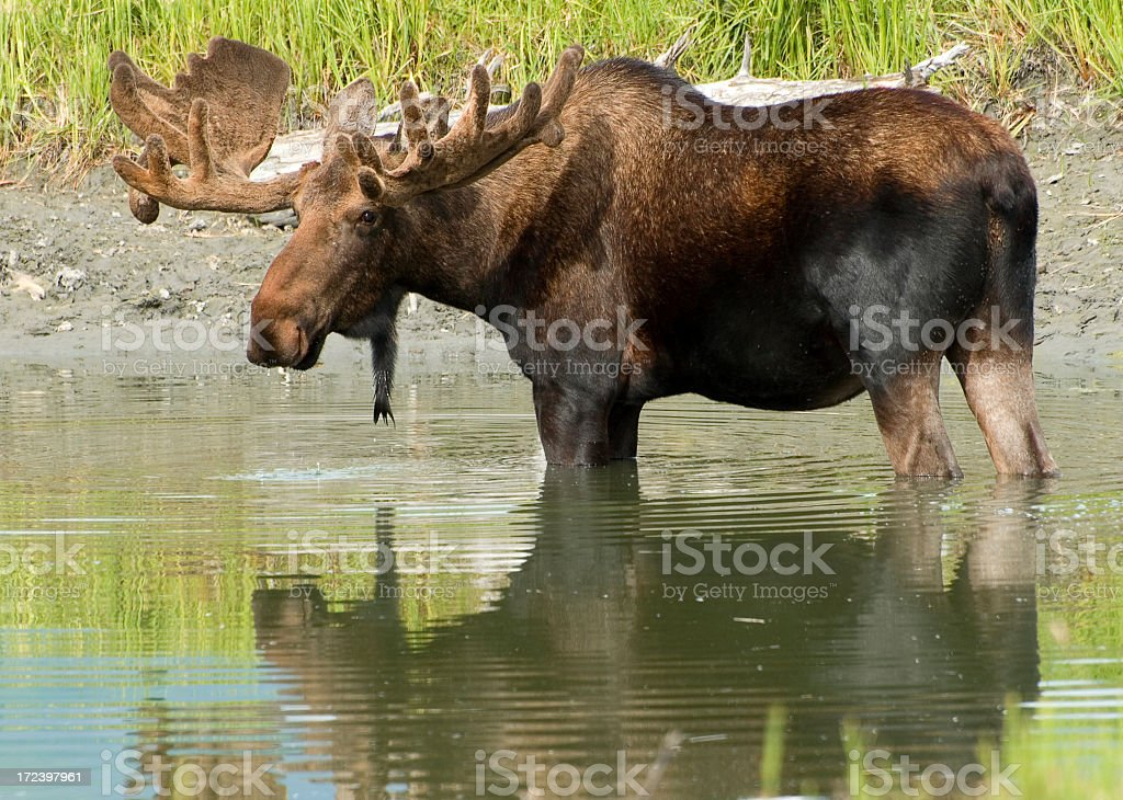 Moose Standing in Water stock photo