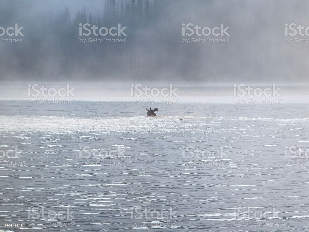 Moose swimming in a lake stock photo